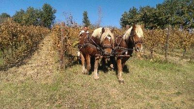 Draught Horses_Umbria Wine