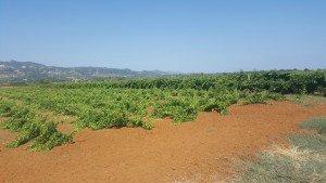 Viticulture - A Family Tradition at Cote di Franze in Calabria