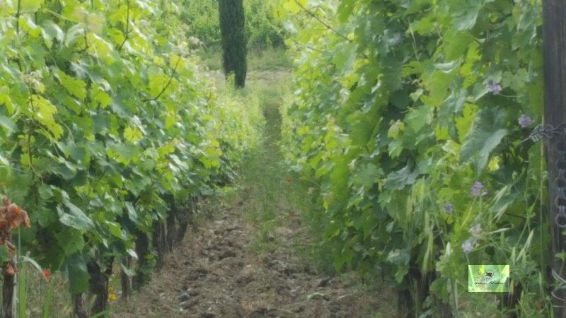 Pisa Wine