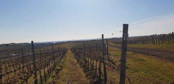 Vineyard Somewhere in Lazio