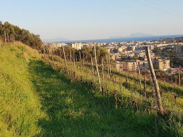 vineyard_campi_flegrei_campania