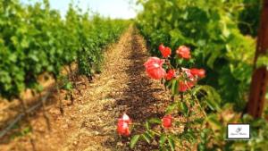 Primitivo_Vineyard_Puglia